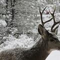 Snowy Young Buck by Jeff Birr