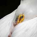 Snuggled White Pelican by Penny Lisowski