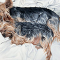 Snuggling Yorkies by Alexandra Cech
