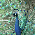 So Pretty Peacock by Sabrina L Ryan