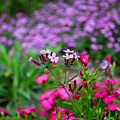 Soapwort And Pinks by Kathryn Meyer
