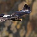 Soaring Black Eagle by Basie Van Zyl