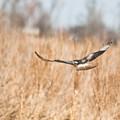Soaring Hawk Over Field by Douglas Barnett