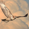 Soaring Hawk by Wingsdomain Art and Photography