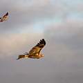 Soaring Pair by Mike  Dawson