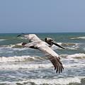 Soaring Pelican  by Christy Pooschke