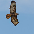 Soaring Red Tail Hawk by Robert Bales