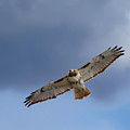 Soaring Red Tail Square by Bill Wakeley