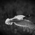Soaring Seagull by Keith Allen