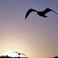 Soaring Seagulls Blue by Camera Candy