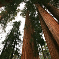 Soaring Sequoias by Timothy Johnson