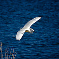 Soaring Snowy Egret  by DigiArt Diaries by Vicky B Fuller
