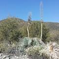 Socal Yucca by Robert Howard