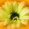 Sodden Petals   by Lori Mahaffey