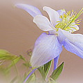 Soft And Lovely Columbine Flower by Kay Novy