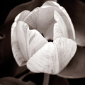 Soft And Sepia Tulip by Marilyn Hunt