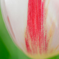 Soft And Tender Tulip Closeup Red White Green by Matthias Hauser