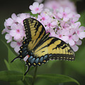 Soft Focus Tiger Swallowtail by Teresa Mucha