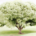 Soft Green Tree by Sylvia Coomes