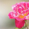 Soft As A Whisper Of A Hot Pink Rose by Sabrina L Ryan