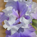 Soft Iris by Linda Covino