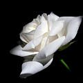 Soft Light White Rose Flower  by Jennie Marie Schell