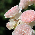Soft Orchid Pink Cabbage Roses On Forest Green by Colleen Cornelius