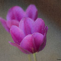 Soft Pastel Purple Tulips  by Teresa Mucha