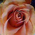 Soft Peach Rose by Jamie Ramirez