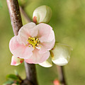 Pink Quince Blossom by Iris Richardson