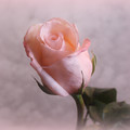Soft Pink Rose by Sandy Keeton