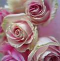 Soft Pink Roses by Tara Shalton