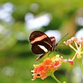 Soft Red Postman Butterfly by Angela Murdock