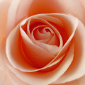Soft Rose by Steve Williams