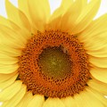 Soft Sunflower by Kathleen Struckle