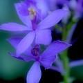 Soft Violet by Kathleen Struckle