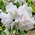 Soft White Azaleas by Carol Groenen