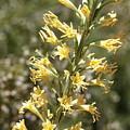 Soft Yellow Desert Flowers by Carol Groenen