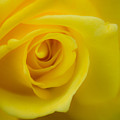 Soft Yellow Rose by Brent Martin - My Photography Adventure