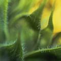 Softabstractsunflower by Cindy Gatzemeier