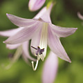 Softened Hosta Bloom Nature Photograph  by Melissa Fague