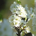 Softly Blooming by Barbara St Jean