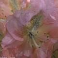 Softly Pink  by Brenda  Spittle