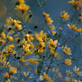 Softly Yellow And Blue by Ann Keisling
