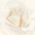 Softness of an Ivory Rose Flower