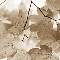 Softness Of Brown Maple Leaves by Jennie Marie Schell