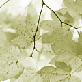Softness Of Olive Green Maple Leaves by Jennie Marie Schell