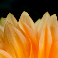 Softness Of The Petals by Greg Nyquist