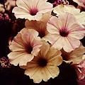 Solanaceae by Lori Mahaffey