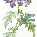 Solanum Quercifolium by Antonio Piccioli